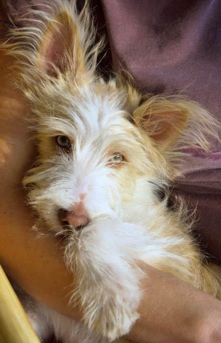 wire-haired Portuguese Podengo Hound Dog aka: scruffy-looking nerf herder.