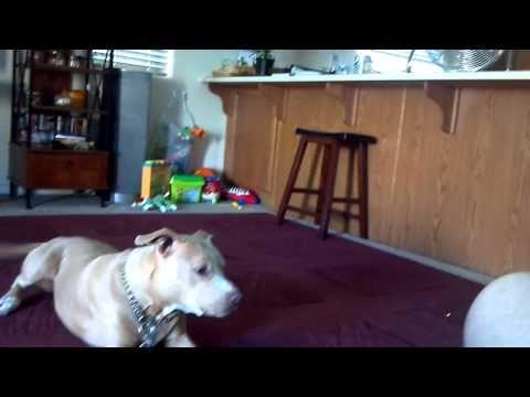 Ferocious pitbull attacks helpless kitten - YouTube