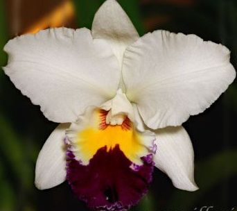orchid flowers for valentines day