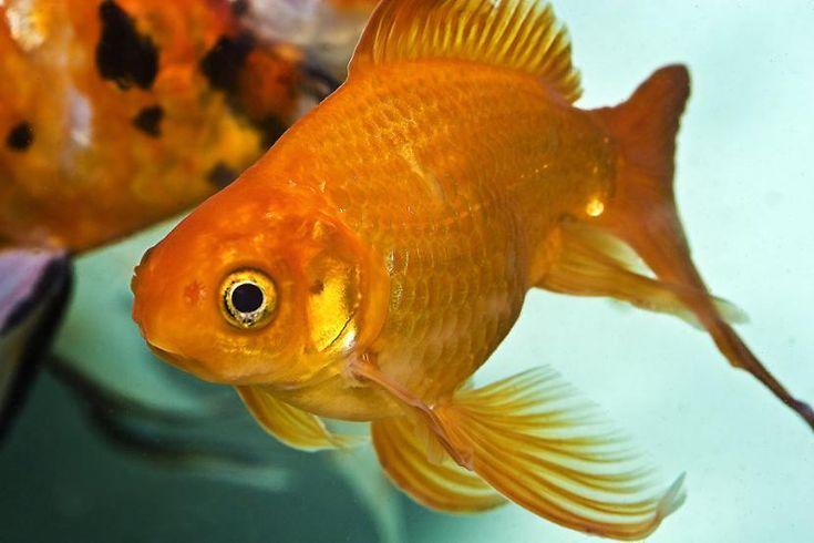 6 peces de agua fría para acuarios - http://www.depeces.com/6-peces-de-agua-fria.html