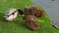 Rouen Ducks : Information on the breed