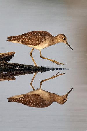 We look forward to welcoming the Shorebirds back to Tofino this Spring.  Many species stop off in Tofino  to fuel up on the mudflats before continuing on to their summer feeding grounds further north.