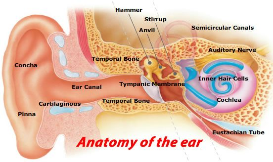 10 Warning Signs for Anatomy of the ear