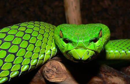10 most disturbing animals on earth.     Gumprecht's green pit viper (Trimeresurus gumprechti)