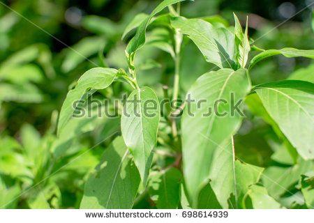 Medicinal Plant : Adhatoda Zeylanica also known as Vasaka in India