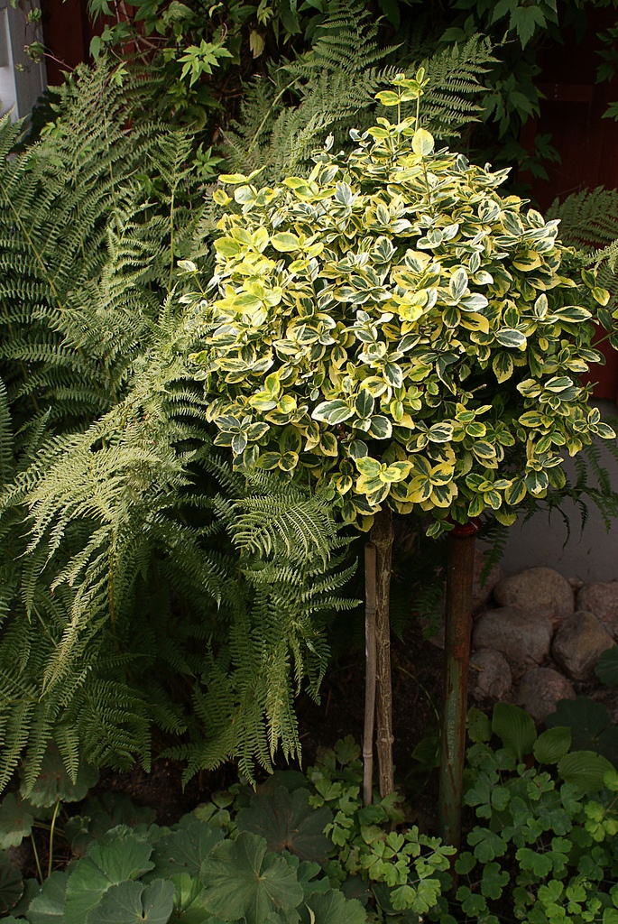 93 best Euonymus images on Pinterest Bow Bright green and