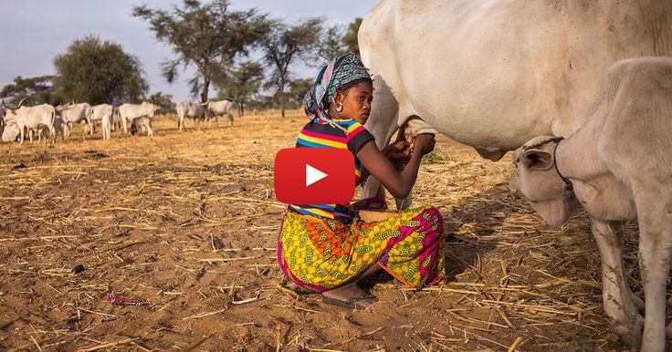 La crise du lait, ce n'est pas qu'en Europe mais aussi en Afrique. Là-bas, elle plonge les petits producteurs dans une situation inquiétante et met en péril leur sécurité alimentaire ! Joëlle Scoriels est partie à leur rencontre.