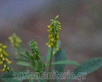 Μελίλωτος Melilotus officinalis