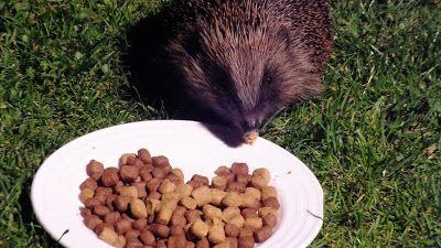 Hedgehog Watch Dublin: June 5/6 2015 Hedgehog Watch Dublin