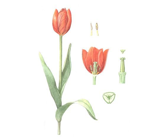 tulip botanical illustration - Buscar con Google