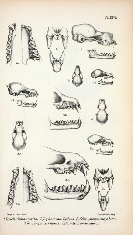Bat Anatomy, Bat Teeth & Jaw
