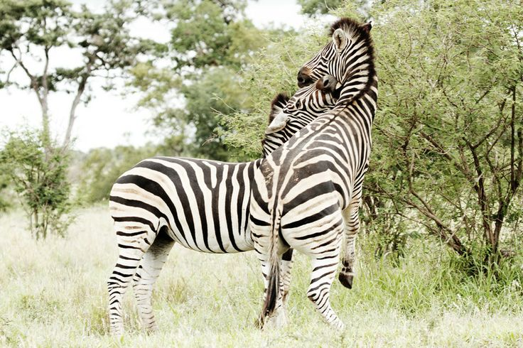 Stripes by Tracy Wilkin on 500px. Zebra, Kruger National Park, Safari, South Africa, wildlife.