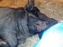 Cornell Small Farms Program: One grower's experience with American Guinea Hogs
