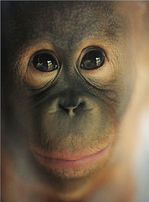 sweet eyesPhotos, Animales Monkeys, Adorable Monkeys, Eye Animal, Sweets Eye, Favorite Animalmonkey, Favorite Animal Monkeys, Alex O'Loughlin, Primative Group