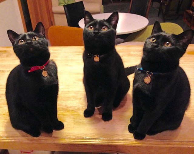 Bombay cat brothers