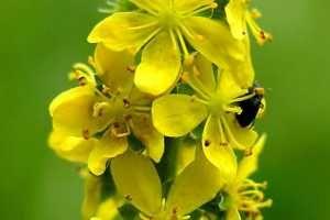 Agrimonia, usada en medicina natural por sus propiedades curativas, sobretodo por los beneficios de su poder astringente. SIGUE LEYENDO EN http://goo.gl/y9YxOz