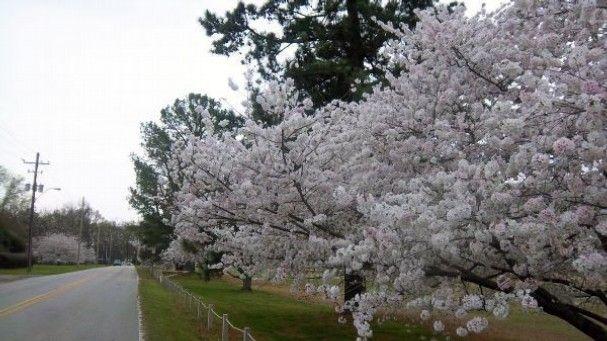 24 best images about memphis tn on pinterest spotlight for Garden trees memphis