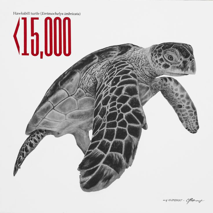 Hawksbill Turtle - Charcoal on canvas.  Less than 15,000 remain