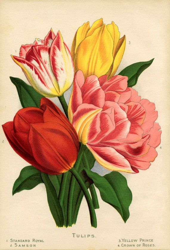 Vintage image tulips greeting or birthday card, $3.00