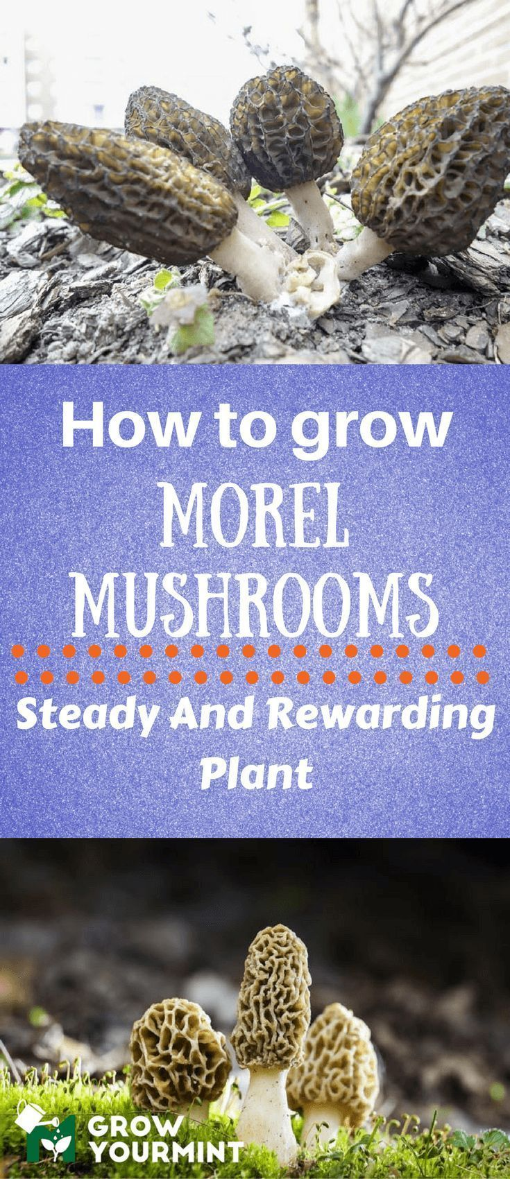 I'll you how to grow morel mushrooms since the procedure is not complicated or confusing. #gardens#organic#growyourmint.com