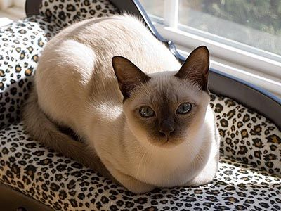 The Tonkinese Cat