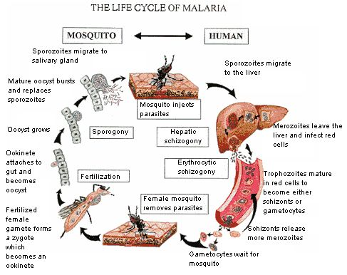 Malaria life cycle