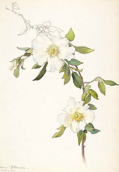 Margaret Neilson Armstrong White Clematis 1911