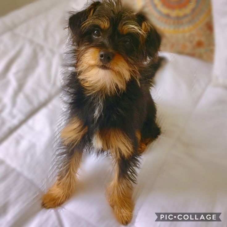 Winnie is an adoptable Dog - Yorkshire Terrier Yorkie & Chinese Crested Dog Mix searching for a forever family near Covington, KY. Use Petfinder to find adoptable pets in your area.