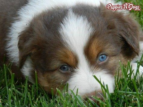 Cute Australian Shepherd Puppies