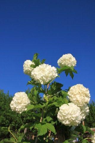Image Guelder Rose ,Viburnum Opulus, Blue Sky