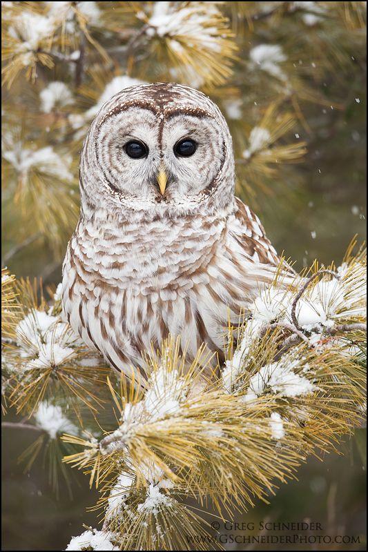 Barred Owl by gregster09.deviantart.com on @deviantART