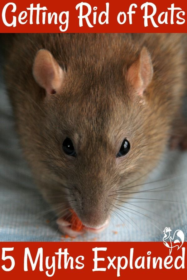Heard that mothballs and mint will get rid of rats from your coop? Here are  5 myths about rat removal - and information about how to deal with a rodent  ... - Got A Rat Problem? You Need My Free Downloadable Checklist
