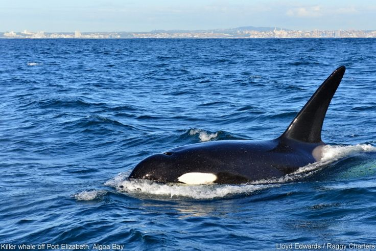 Killer Whale off Port Elizabeth, South Africa