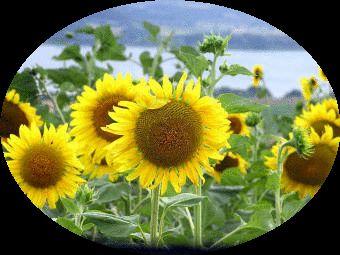sunflower toscany italy