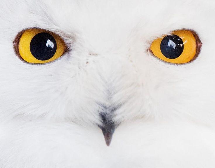 Snowy owl - Ardan News