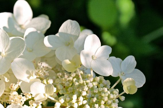 #Weiße #Hortensie #white #hydrangea brings the #summer into your #rooms