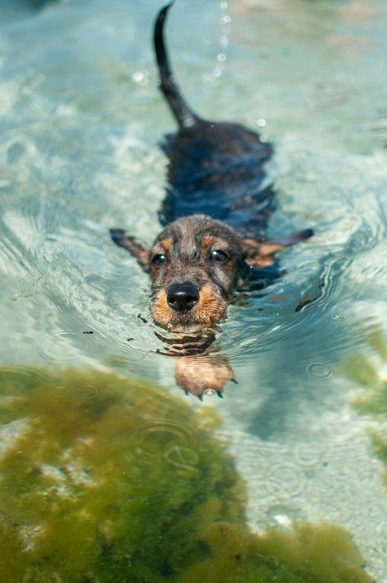 Wirehaired Dachshund swimming 🏊♂️