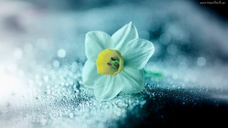 Kwiat, Narcyz, Makro