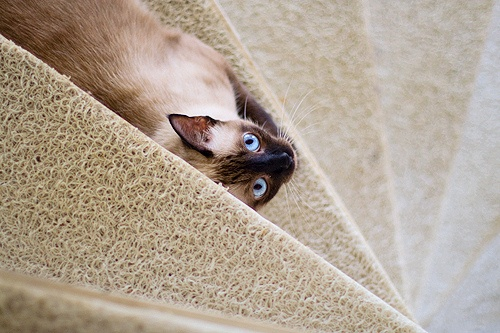 A different point of view by fofurasfelinas, via Flickr                                                                                                                                                           A different point of view               ..: Photos, Cat, Point Of View, Staircase Siamese, Photo Sharing