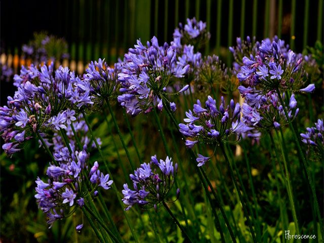 Agapanthus (Blue lily, bloulelie), Bloemfontein, South Africa (c) Florescence
