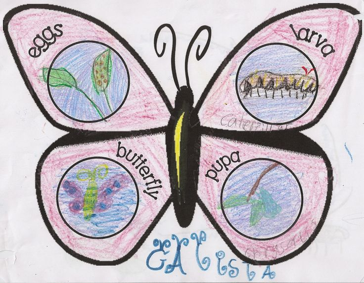Cute model of the  Butterfly Lifecycle