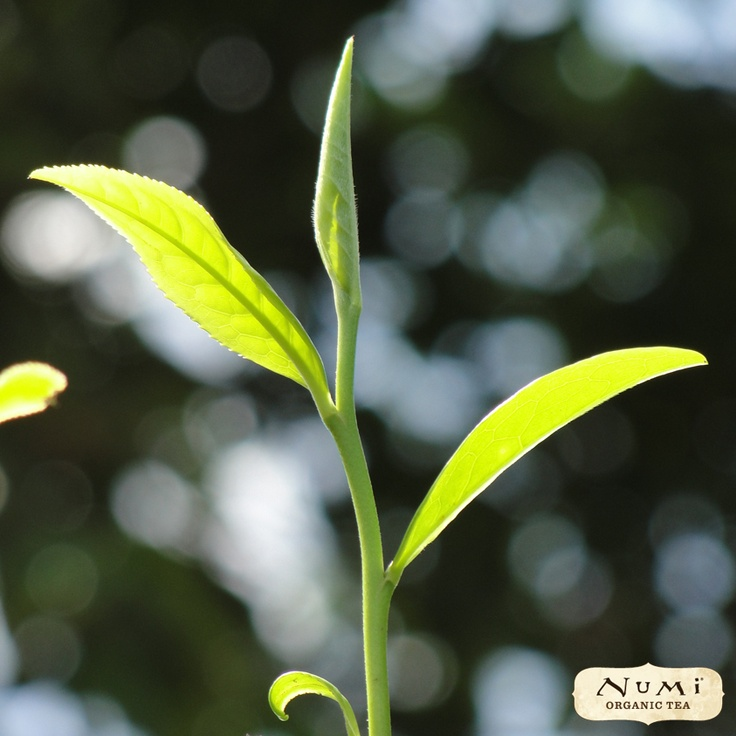 Behold the #tea plant (a.k.a. Camellia Sinensis)! Can you imagine life without this wonderful gift of nature?