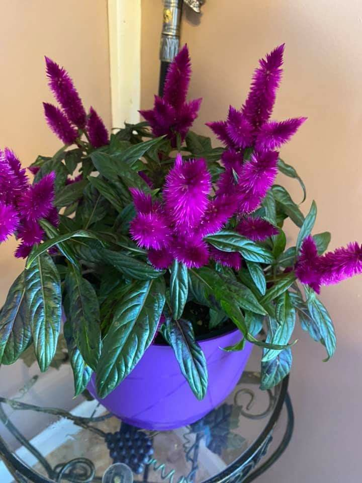Flowering Celosia In 2020 Best Indoor Plants Planting Flowers Plants