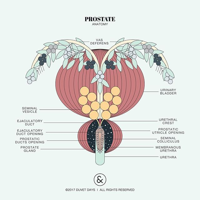 The prostate is a walnut-sized gland located between the bladder and the penis. For males the prostate is a point of pleasure, which is in front of the rectum found in the anal canal. Although the prostate provides pleasure its main function is to aid in reproduction by secreting a fluid that nourishes, protects,expel semen, and helps prolong the life of the sperm after ejaculation.⠀ ⠀ Design: ©2017 Duvet Days / All Rights Reserved⠀⠀ ⠀⠀ Please contact us via email in our profile for digital…