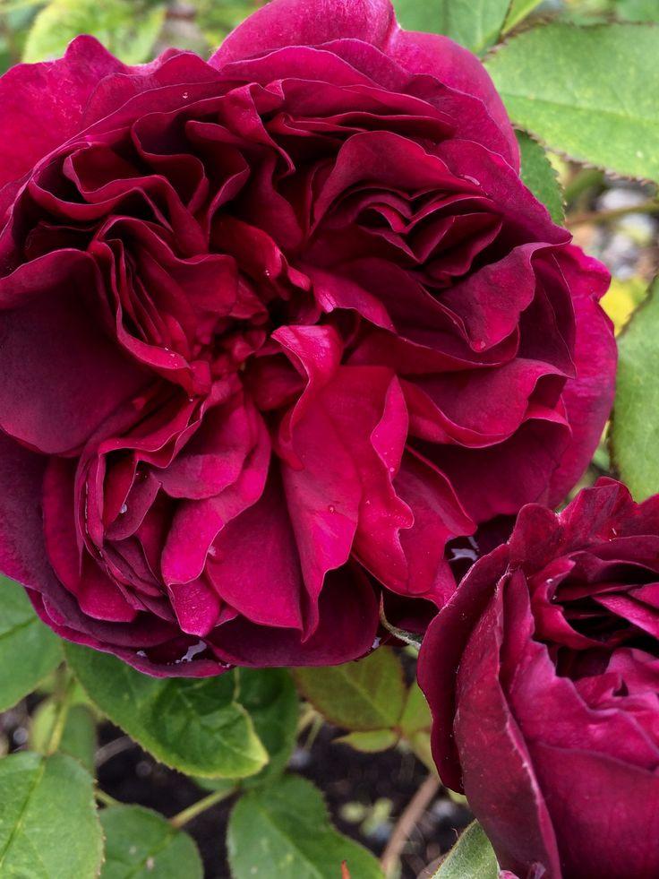 Английская роза в саду🌹🌹