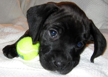 lab and boxer mix puppy | Marley the Boxer/ Lab Mix | Puppies | Daily Puppy