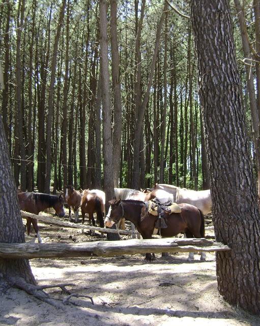 caballos en el pinar, villa gesell, argentina