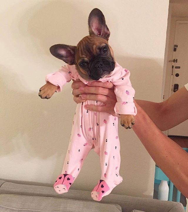 Weekend mode ON @mabel.the.frenchie, #frenchie #frenchieoftheday… Fur Baby!!! Pinned by: www.spinstersguide.com