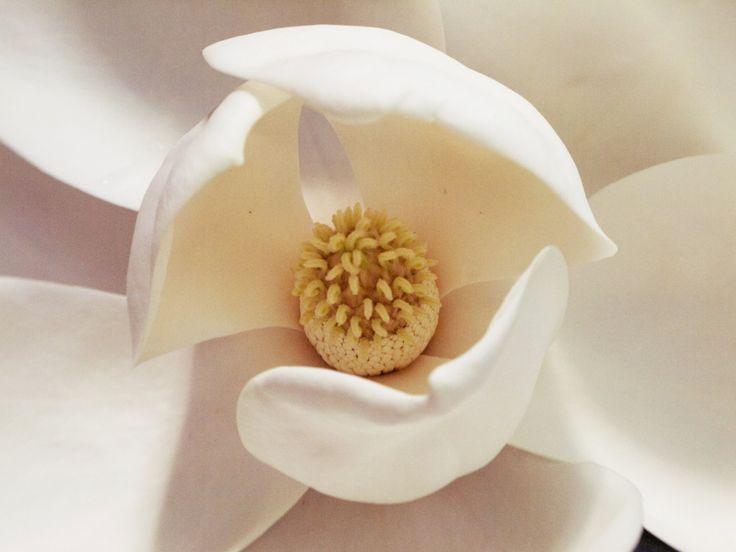 "New to Hextrovert on Etsy: Floral photography ""Magnolia"" nature white flower magnolia blossom pink and white flower close-up photography North American flowers (5.00 EUR)"