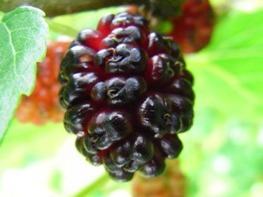童謡『赤とんぼ』の歌詞の中に出てくる桑の実 ベリー系の味がして甘くて美味しいですよ。
